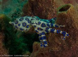 BD-090922-Bunaken-9223597-Hapalochlaena-maculosa-(Hoyle.-1883)-[Lesser-blue-ringed-octopus].jpg